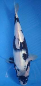 232-Arvik-tulungagung-menorokoi-Tulungagung-Shiro-35cm