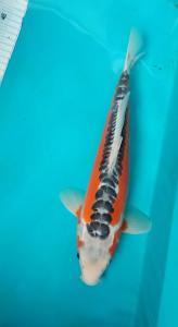 359-Cantik koi-blitar-kampoeng blantik-blitar-shusui-35cm-male