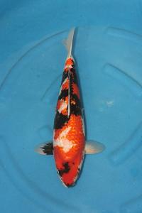 361-Achen-samarinda-good one koi-surabaya-ginrin A-50cm -male